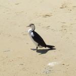pinguinide
